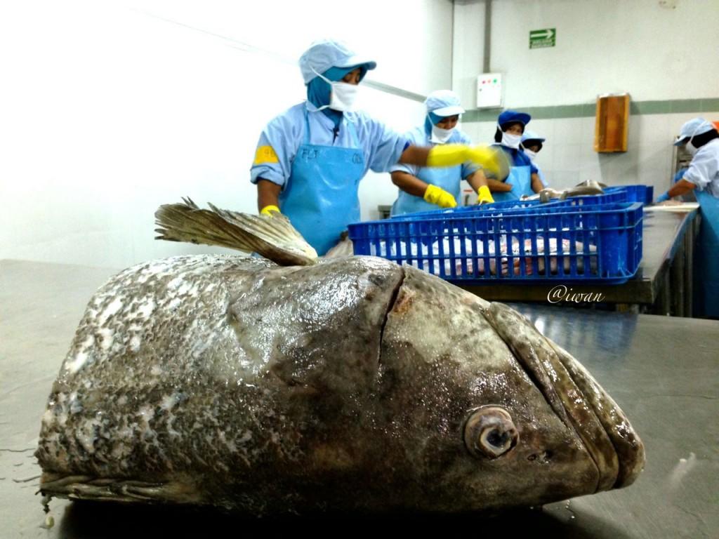 Pengolahan ikan di PT Kelola Mina Laut / photo iwan