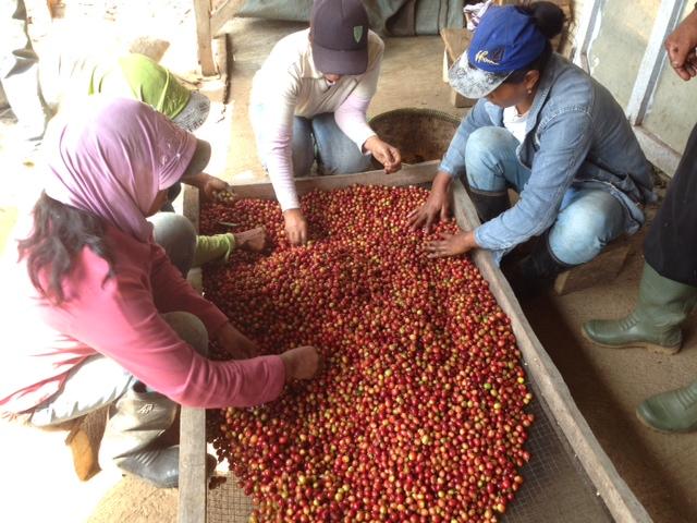 Petani Kopi di Ijen Raung melakukan proses pengolahan kopi/ photo junanto